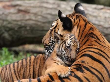 tiger-mom